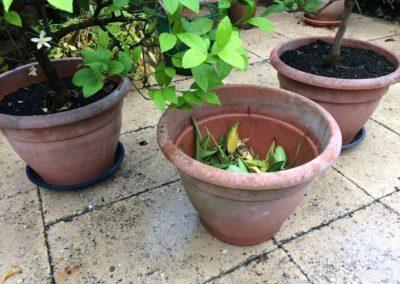 prima potten voor citroenboom