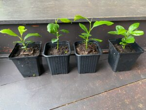 Citroenplantjes maart 2021.jpg