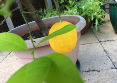 citroenboompje-overrijp-pitten-kweken (2)